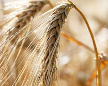 Хлебный парадокс:Высокий урожай зерна в РФ никак не отразится на потребительских ценах продуктов